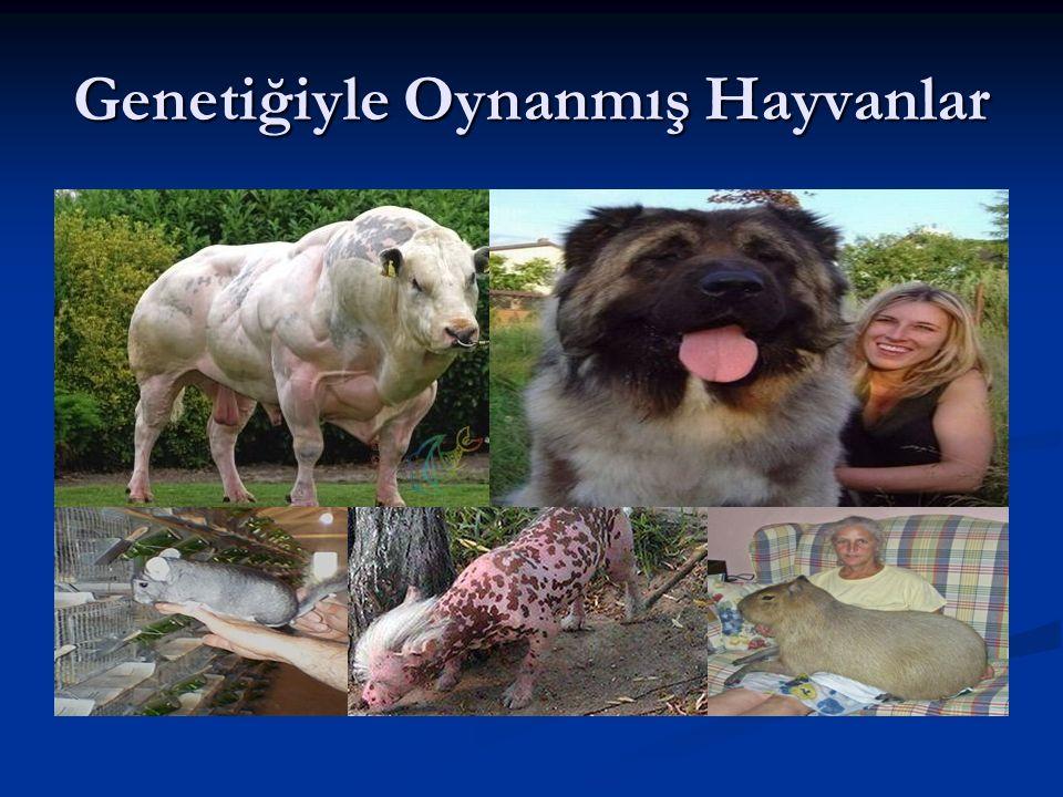 Genetiğiyle Oynanmış Hayvanlar