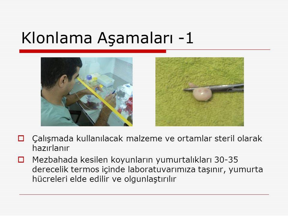 Klonlama Aşamaları -1  Çalışmada kullanılacak malzeme ve ortamlar steril olarak hazırlanır  Mezbahada kesilen koyunların yumurtalıkları 30-35 derece