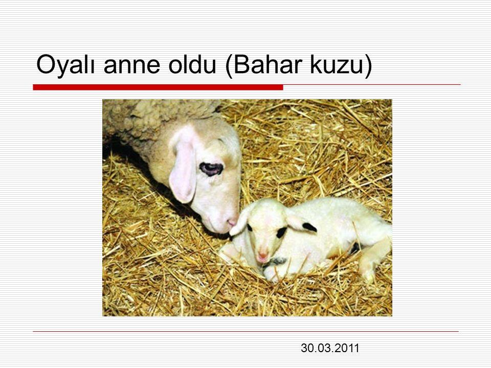 Oyalı anne oldu (Bahar kuzu) 30.03.2011