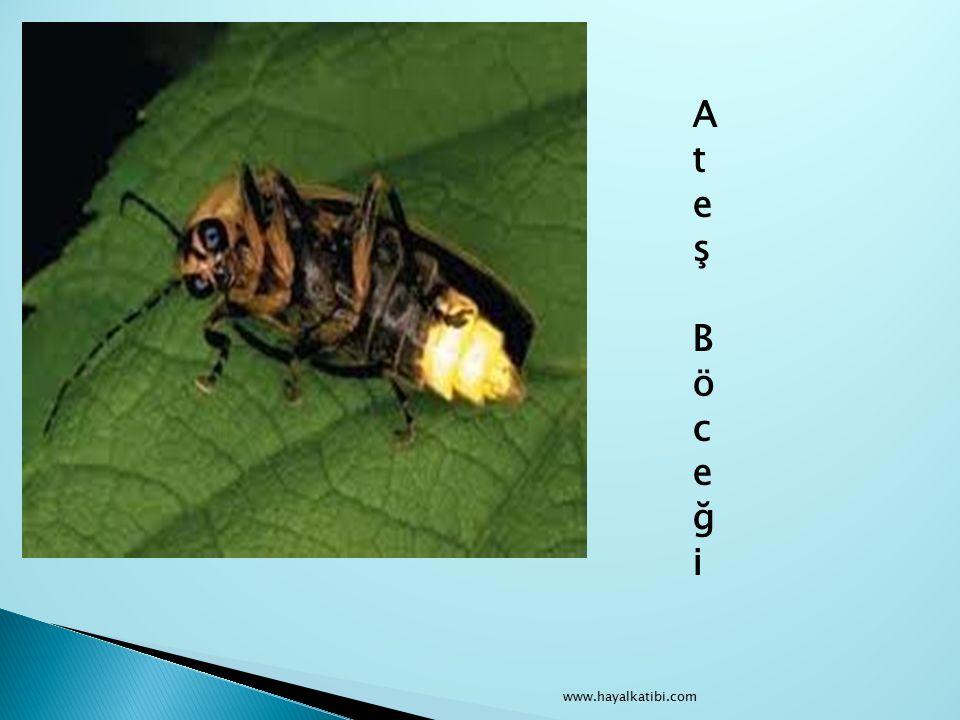 Ateş BöceğiAteş Böceği