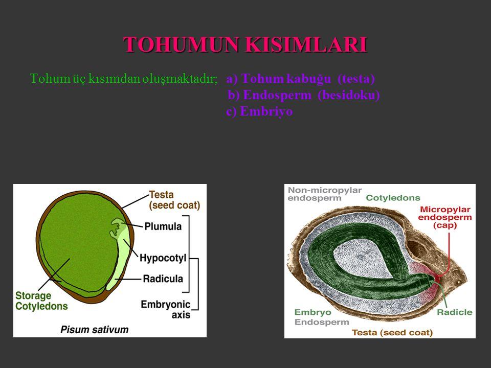 TOHUMUN KISIMLARI Tohum üç kısımdan oluşmaktadır;a) Tohum kabuğu (testa) b) Endosperm (besidoku) c) Embriyo
