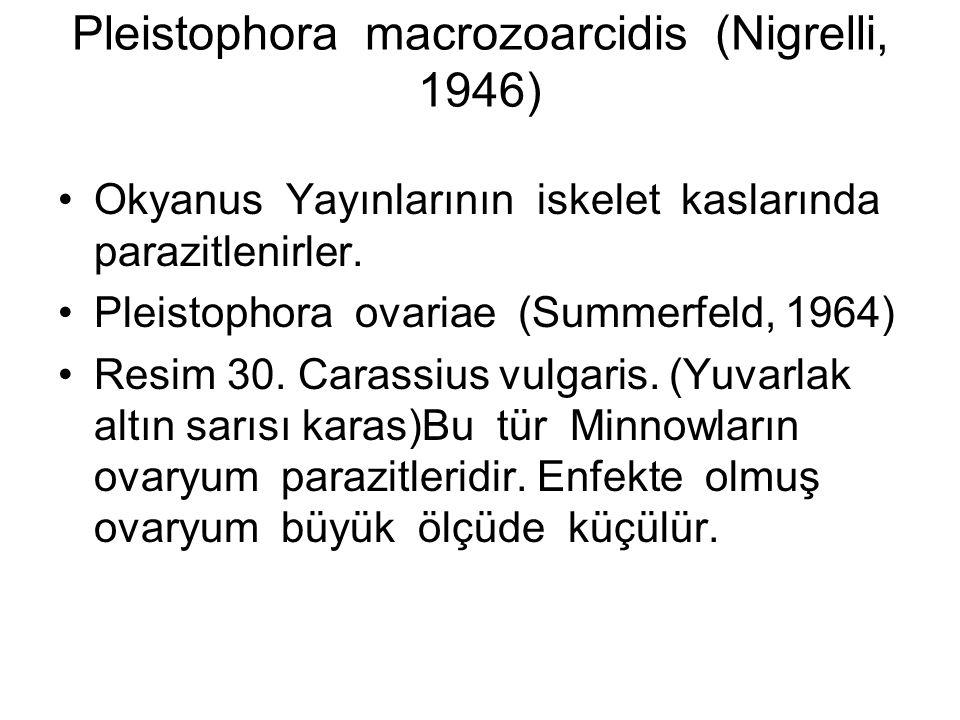 Pleistophora macrozoarcidis (Nigrelli, 1946) Okyanus Yayınlarının iskelet kaslarında parazitlenirler.