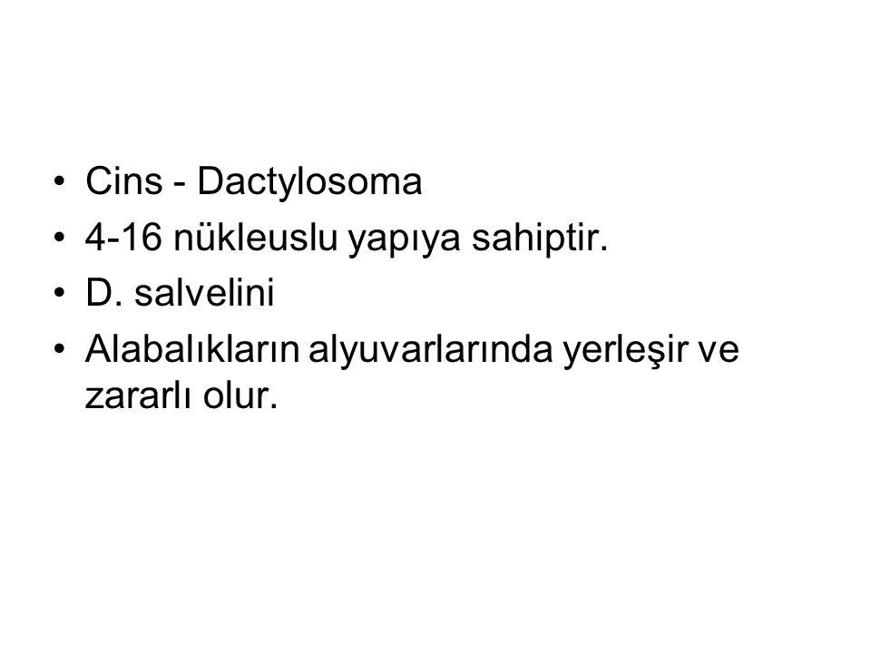 Cins - Dactylosoma 4-16 nükleuslu yapıya sahiptir.