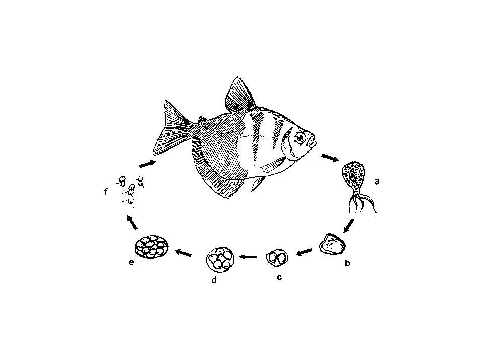 Eimeria aurata Bu tür, sazangillerde ve kırmızı havuz balıklarında enteritis ve uyuşukluğa sebep olurlar.