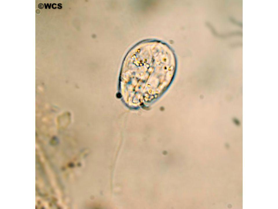 Parazitin olgun trofontları, önceden hasar görmüş balıklar üzerinde yerleşmeyi tercih etmektedir.
