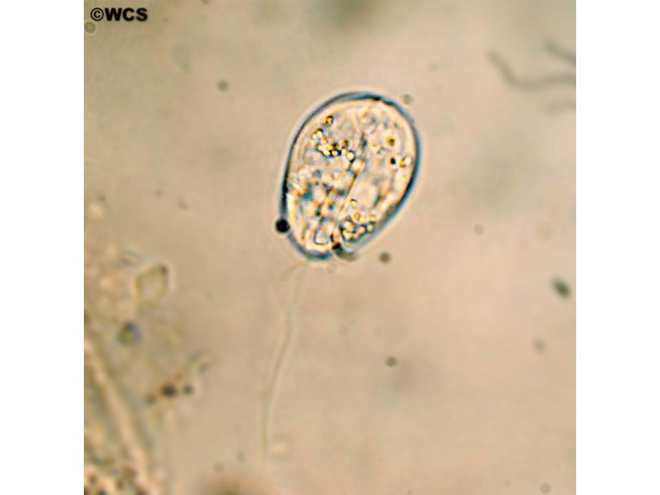 Cins - Sphaerospora S.