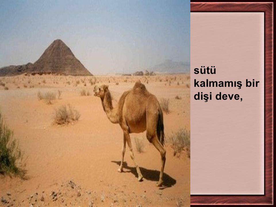 sütü kalmamış bir dişi deve,