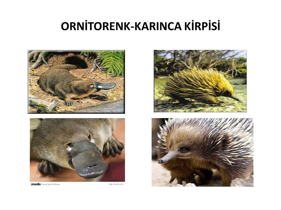 ORNİTORENK-KARINCA KİRPİSİ