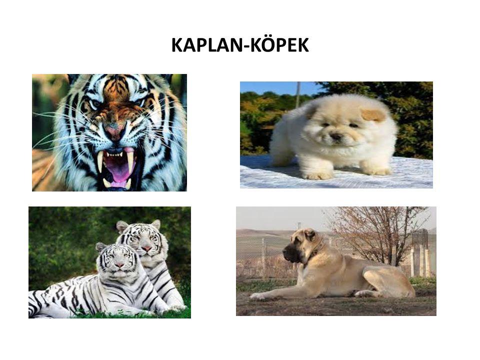 KAPLAN-KÖPEK