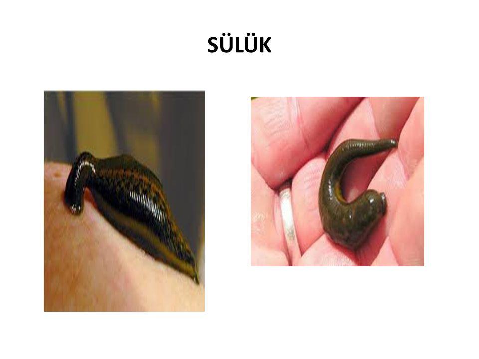 SÜLÜK