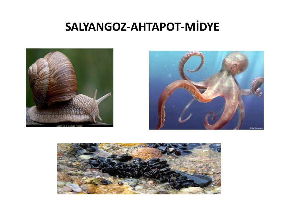 SALYANGOZ-AHTAPOT-MİDYE