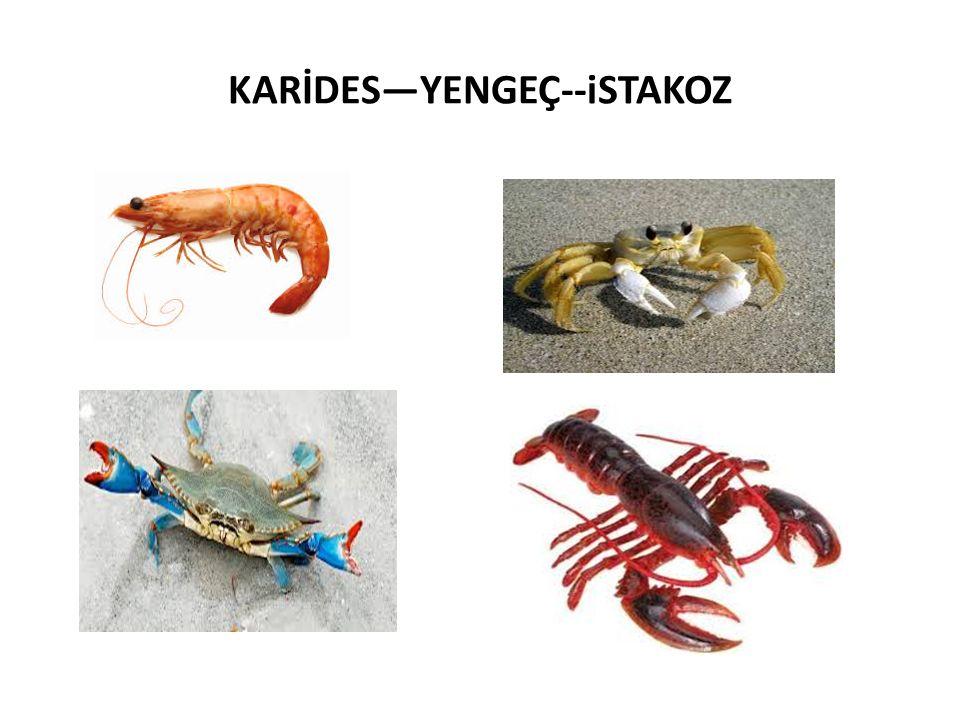 KARİDES—YENGEÇ--iSTAKOZ