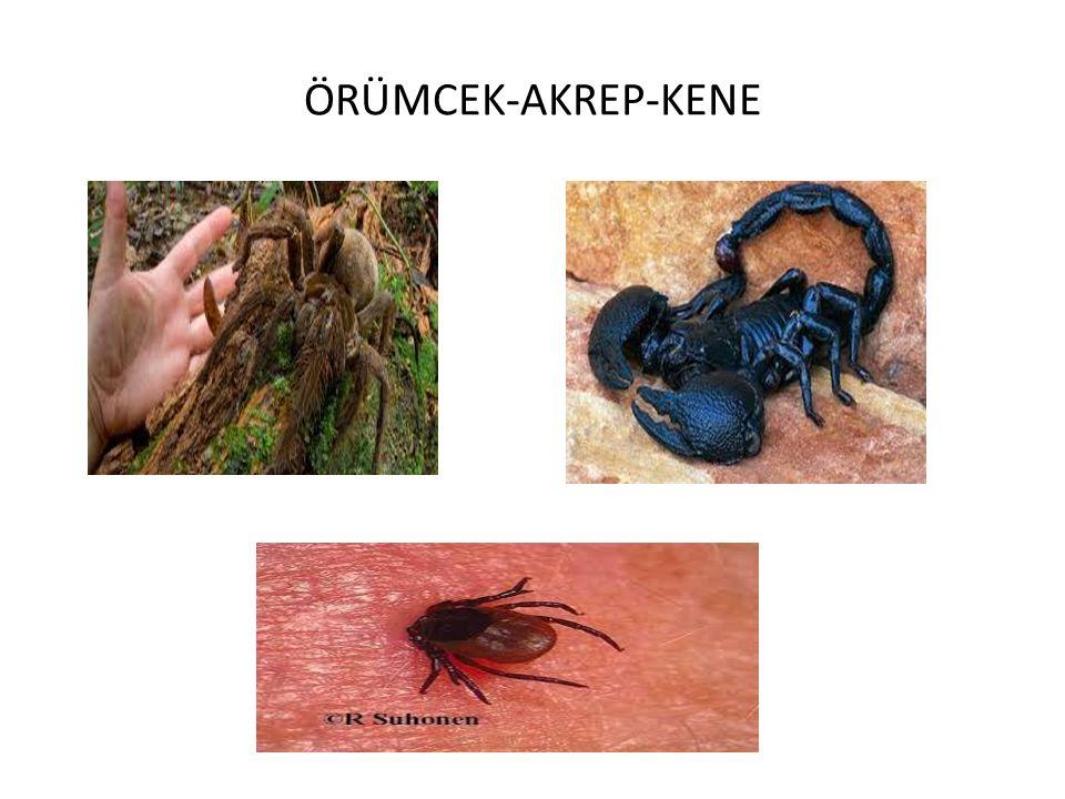ÖRÜMCEK-AKREP-KENE