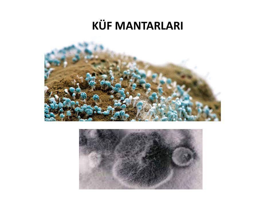 KÜF MANTARLARI