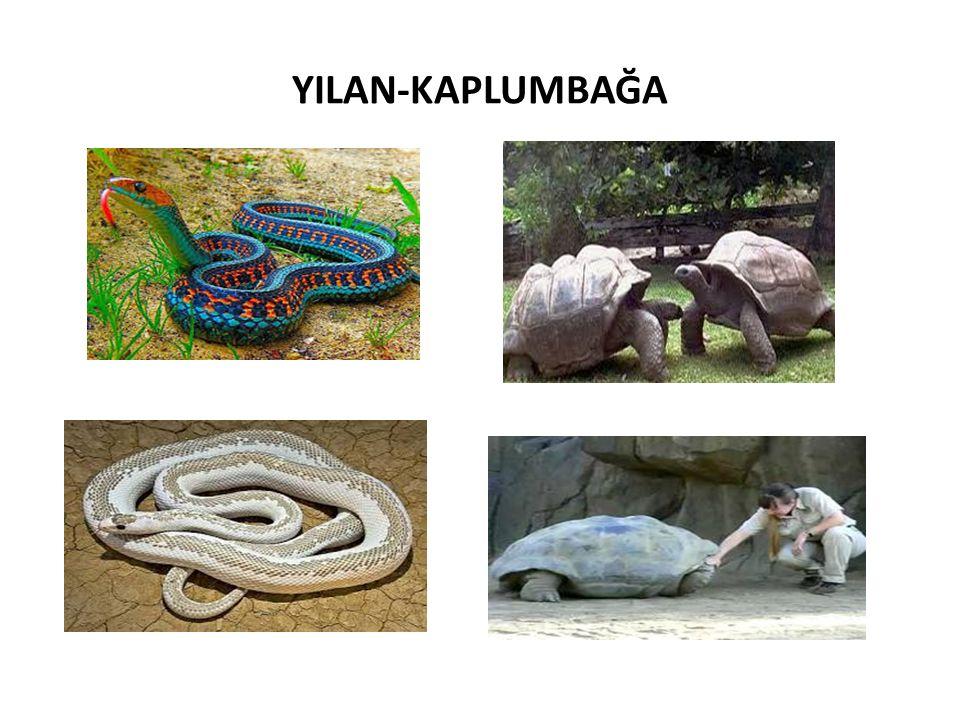 YILAN-KAPLUMBAĞA
