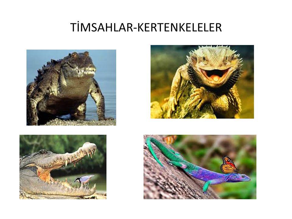 TİMSAHLAR-KERTENKELELER