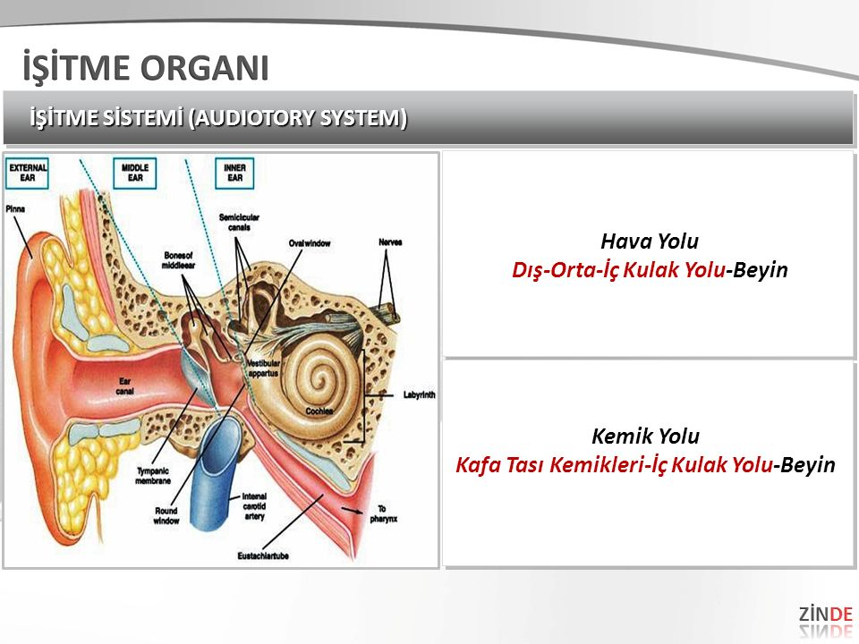 İŞİTME SİSTEMİ (AUDIOTORY SYSTEM) Hava Yolu Dış-Orta-İç Kulak Yolu-Beyin Hava Yolu Dış-Orta-İç Kulak Yolu-Beyin Kemik Yolu Kafa Tası Kemikleri-İç Kulak Yolu-Beyin Kemik Yolu Kafa Tası Kemikleri-İç Kulak Yolu-Beyin