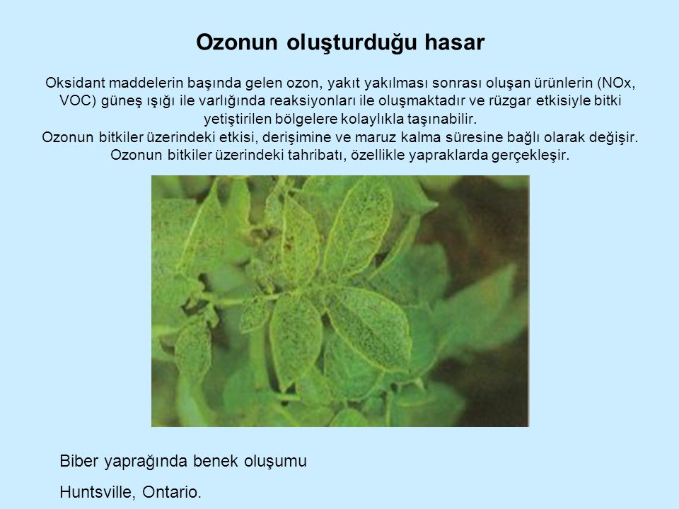 Ozonun oluşturduğu hasar Oksidant maddelerin başında gelen ozon, yakıt yakılması sonrası oluşan ürünlerin (NOx, VOC) güneş ışığı ile varlığında reaksi