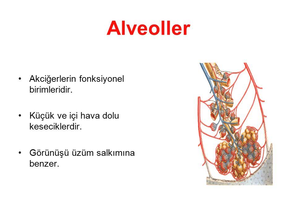 Alveoller Akciğerlerin fonksiyonel birimleridir. Küçük ve içi hava dolu keseciklerdir. Görünüşü üzüm salkımına benzer.