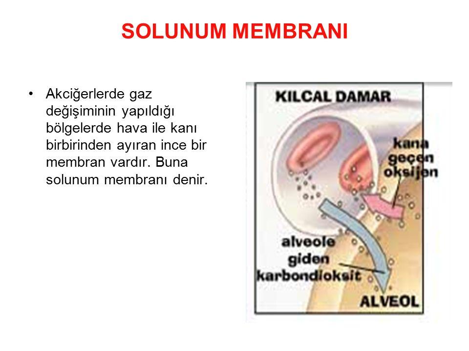 SOLUNUM MEMBRANI Akciğerlerde gaz değişiminin yapıldığı bölgelerde hava ile kanı birbirinden ayıran ince bir membran vardır. Buna solunum membranı den