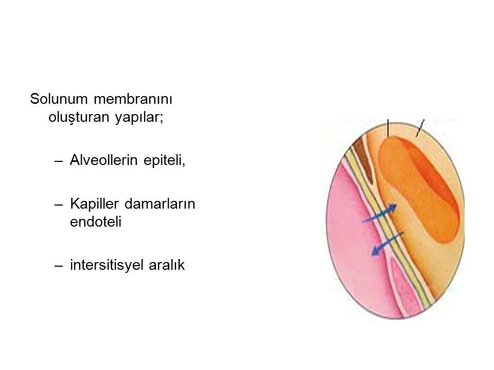 Solunum membranını oluşturan yapılar; –Alveollerin epiteli, –Kapiller damarların endoteli –intersitisyel aralık