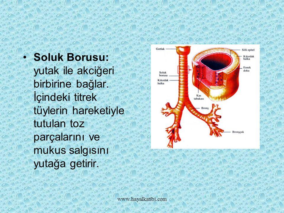 www.hayalkatibi.com Soluk Borusu: yutak ile akciğeri birbirine bağlar.