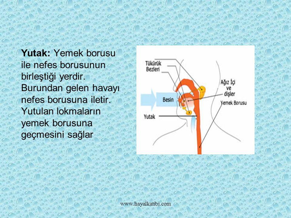 Yutak: Yemek borusu ile nefes borusunun birleştiği yerdir.