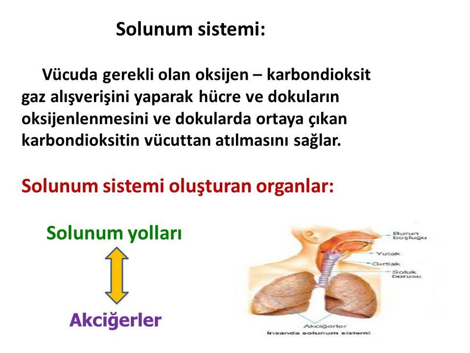 Solunum sistemi: Vücuda gerekli olan oksijen – karbondioksit gaz alışverişini yaparak hücre ve dokuların oksijenlenmesini ve dokularda ortaya çıkan ka