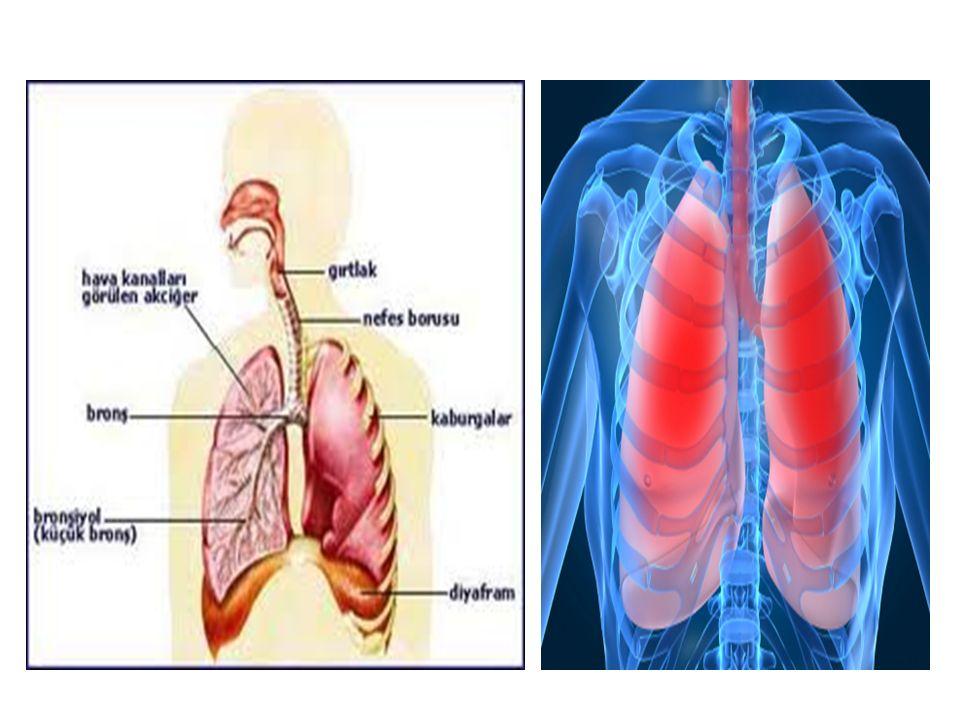 Sinir sistemi: Bilinç, anlama, düşünme, algılama, hareketleri ve uyumunu, dengeyi ve solunum ile dolaşımı sağlar.