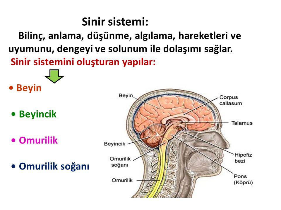 Sinir sistemi: Bilinç, anlama, düşünme, algılama, hareketleri ve uyumunu, dengeyi ve solunum ile dolaşımı sağlar. Sinir sistemini oluşturan yapılar: B