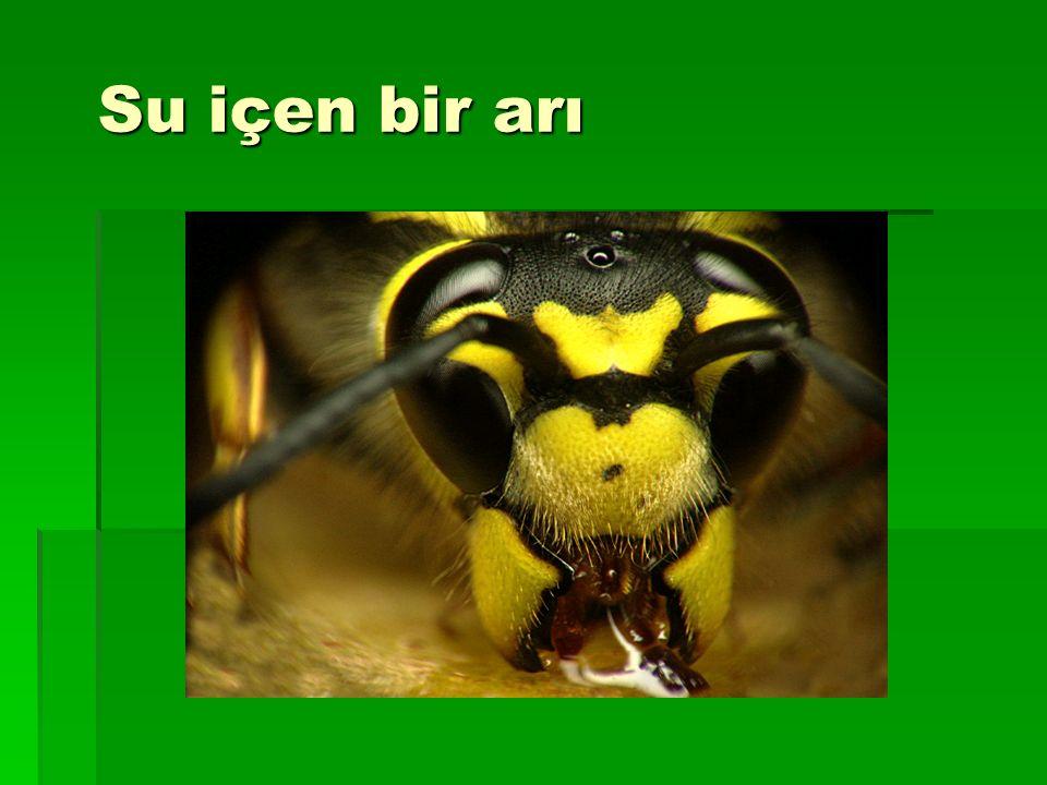 Su içen bir arı
