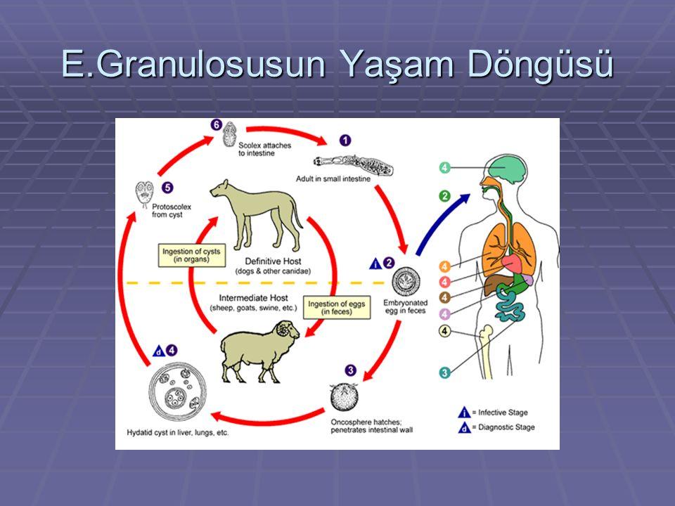 E.Granulosusun Yaşam Döngüsü
