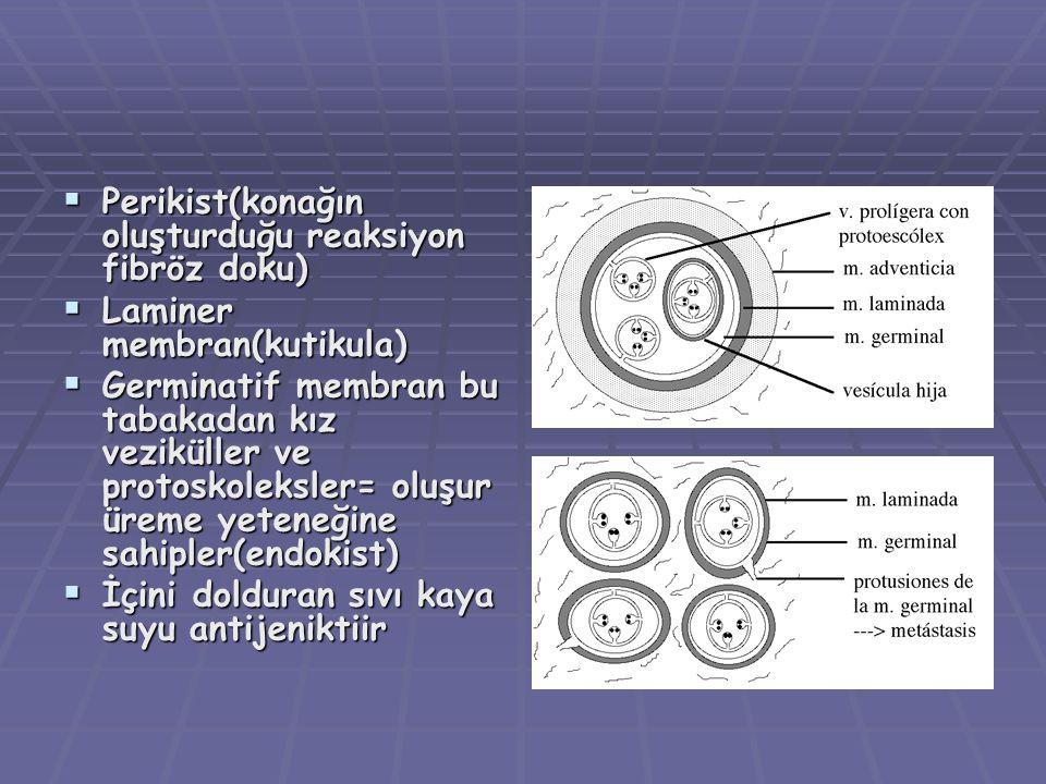 Perikist(konağın oluşturduğu reaksiyon fibröz doku)  Laminer membran(kutikula)  Germinatif membran bu tabakadan kız veziküller ve protoskoleksler= oluşur üreme yeteneğine sahipler(endokist)  İçini dolduran sıvı kaya suyu antijeniktiir