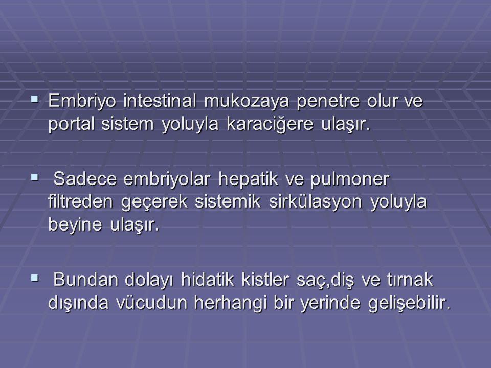  Embriyo intestinal mukozaya penetre olur ve portal sistem yoluyla karaciğere ulaşır.