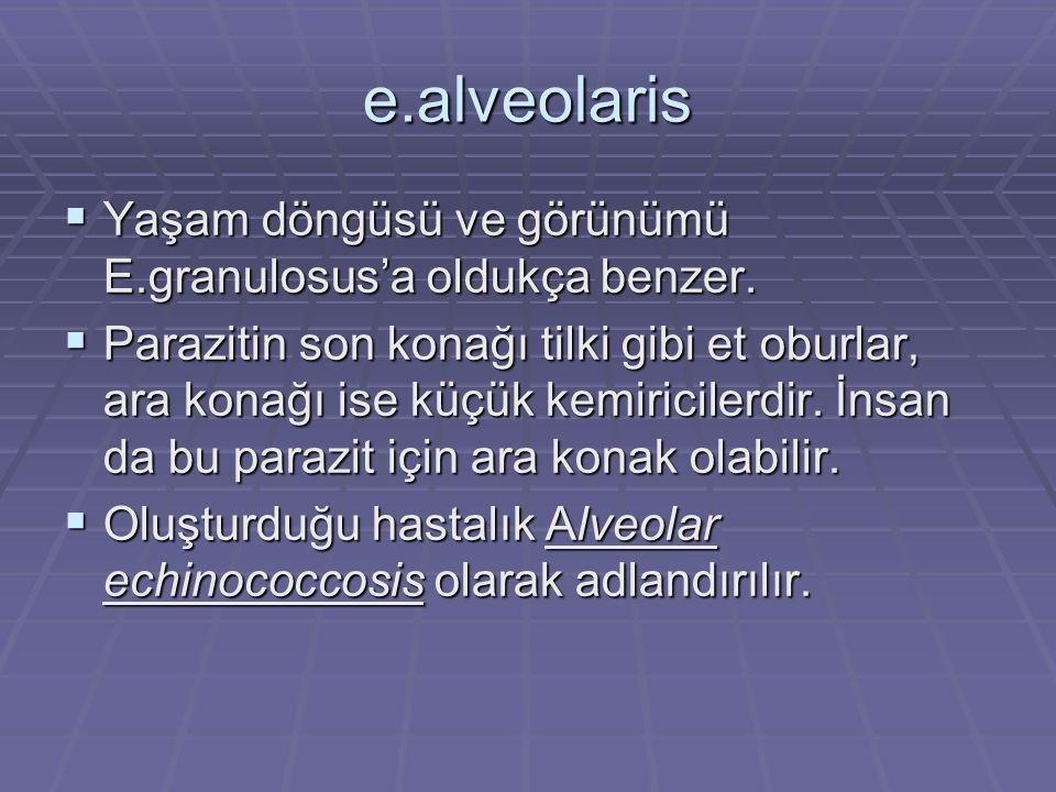 e.alveolaris  Yaşam döngüsü ve görünümü E.granulosus'a oldukça benzer.