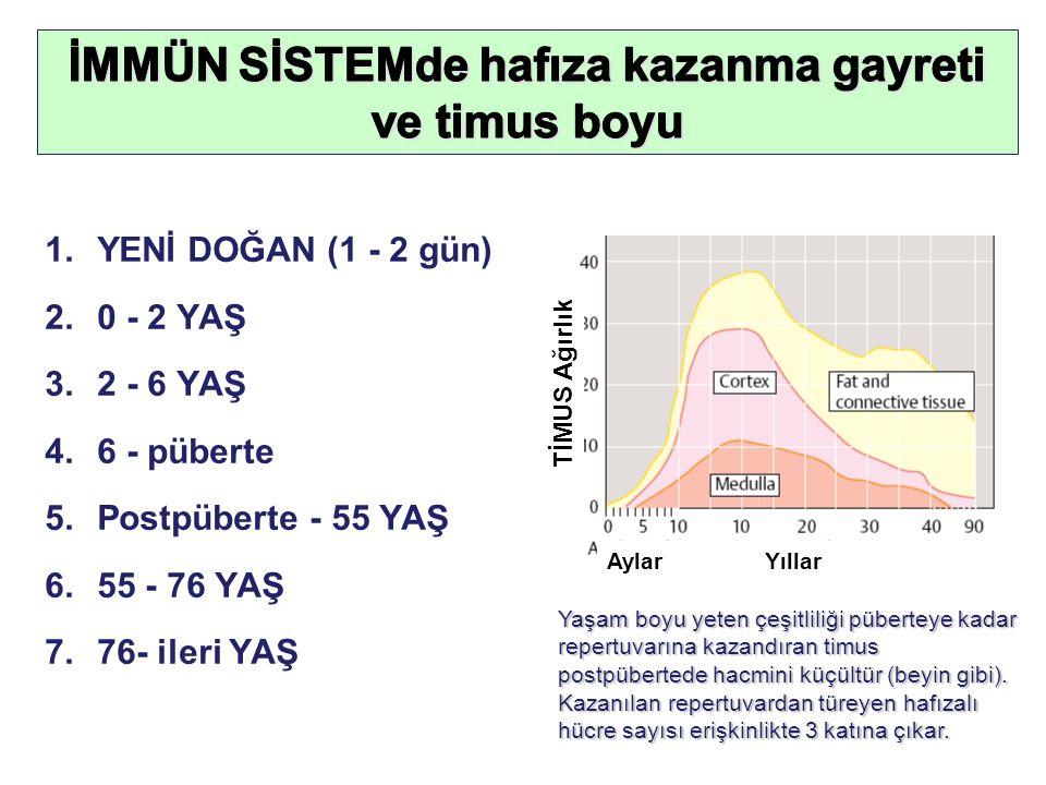 1.YENİ DOĞAN (1 - 2 gün) 2.0 - 2 YAŞ 3.2 - 6 YAŞ 4.6 - püberte 5.Postpüberte - 55 YAŞ 6.55 - 76 YAŞ 7.76- ileri YAŞ Yaşam boyu yeten çeşitliliği püberteye kadar repertuvarına kazandıran timus postpübertede hacmini küçültür (beyin gibi).