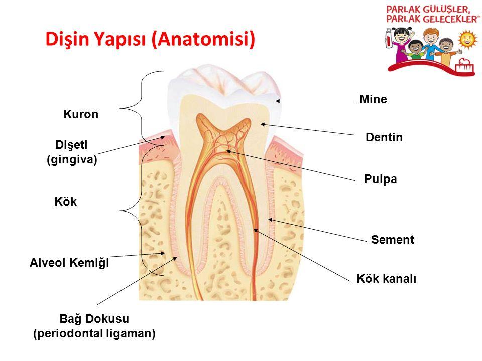 Dişin Yapısı (Anatomisi) Parlak Gülüşler Parlak Gelecekeler Kuron Kök Pulpa Mine Dentin Sement Dişeti (gingiva) Alveol Kemiği Kök kanalı Bağ Dokusu (p
