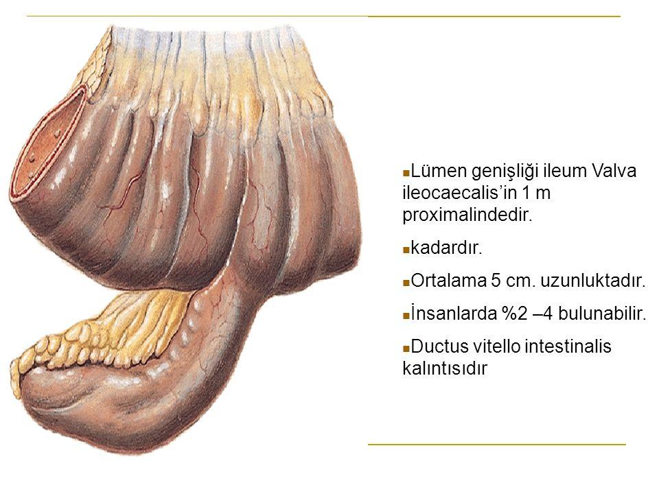 Lümen genişliği ileum Valva ileocaecalis'in 1 m proximalindedir. kadardır. Ortalama 5 cm. uzunluktadır. İnsanlarda %2 –4 bulunabilir. Ductus vitello i