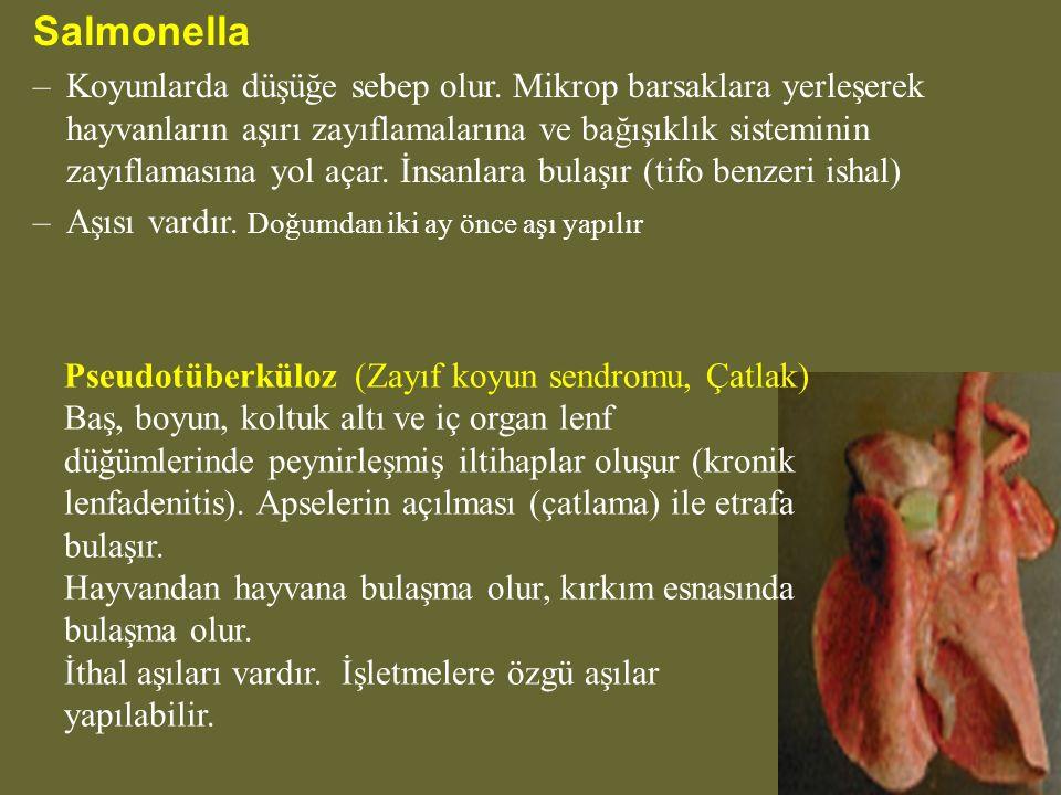 Salmonella –Koyunlarda düşüğe sebep olur.