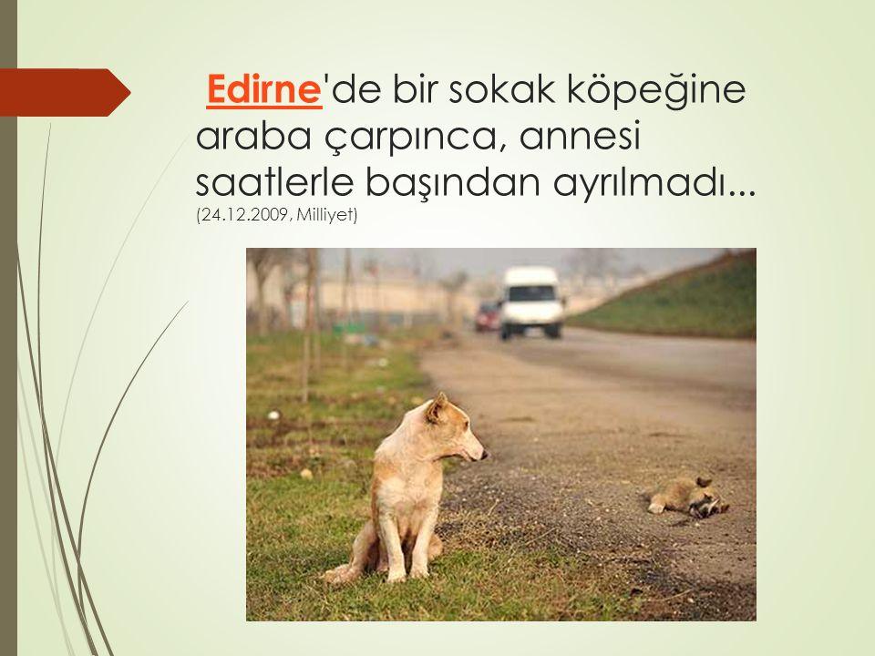 Edirne 'de bir sokak köpeğine araba çarpınca, annesi saatlerle başından ayrılmadı... (24.12.2009, Milliyet) Edirne