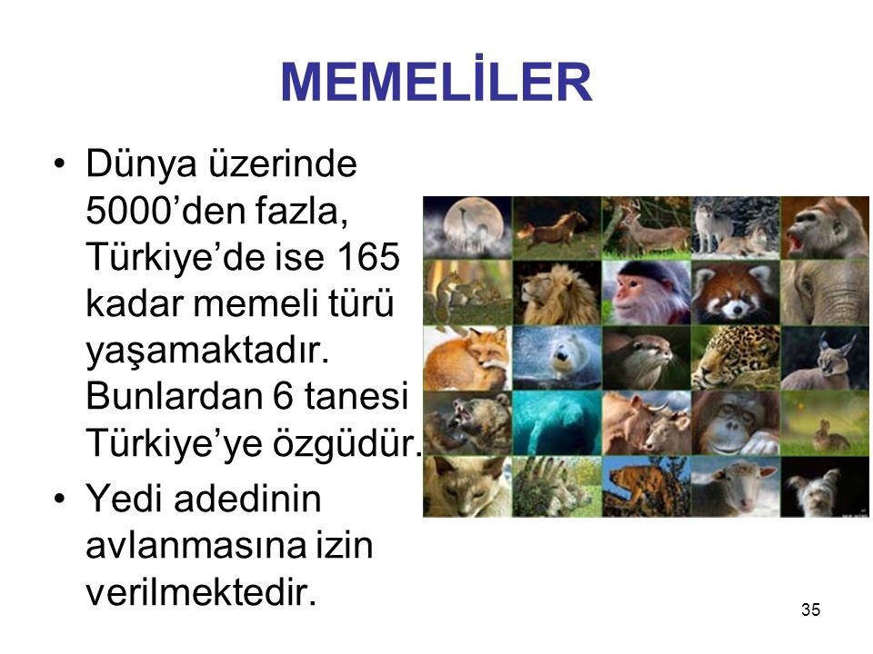 35 MEMELİLER Dünya üzerinde 5000'den fazla, Türkiye'de ise 165 kadar memeli türü yaşamaktadır. Bunlardan 6 tanesi Türkiye'ye özgüdür. Yedi adedinin av