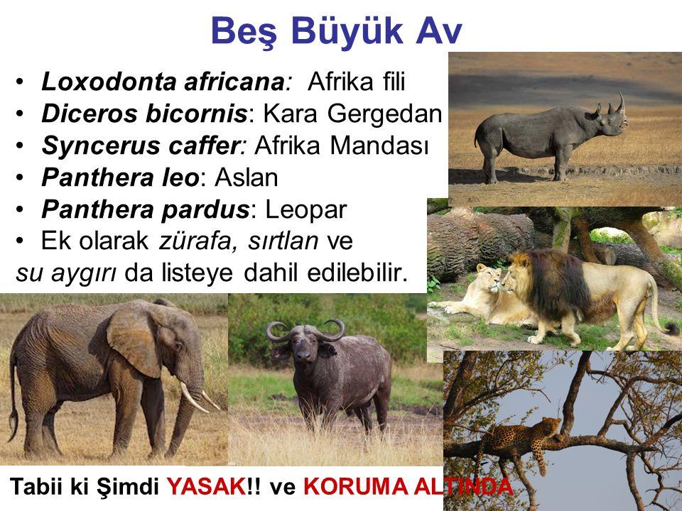 39 Beş Büyük Av Loxodonta africana: Afrika fili Diceros bicornis: Kara Gergedan Syncerus caffer: Afrika Mandası Panthera leo: Aslan Panthera pardus: L