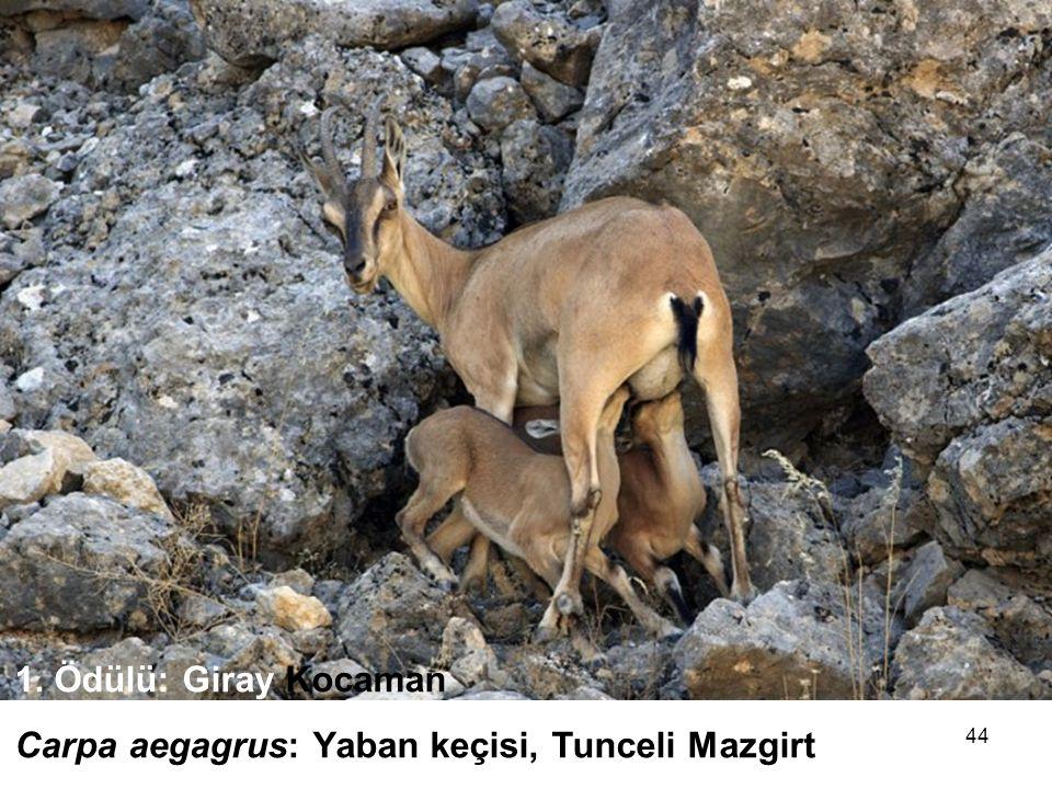 44 1.Ödülü: Giray Kocaman Carpa aegagrus: Yaban keçisi, Tunceli Mazgirt