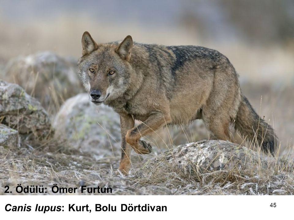 45 2. Ödülü: Ömer Furtun Canis lupus: Kurt, Bolu Dörtdivan