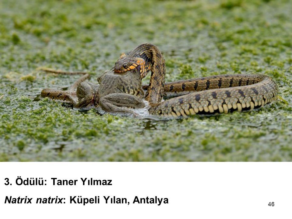 46 3. Ödülü: Taner Yılmaz Natrix natrix: Küpeli Yılan, Antalya