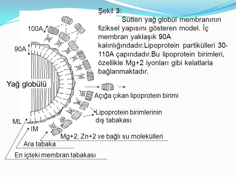 Yağ globülü 90A 100A Mg+2, Zn+2 ve bağlı su molekülleri Ara tabaka En içteki membran tabakası Lipoprotein birimlerinin dış tabakası Açığa çıkan lipoprotein birimi Şekil 3: Sütten yağ globül membranının fiziksel yapısını gösteren model.