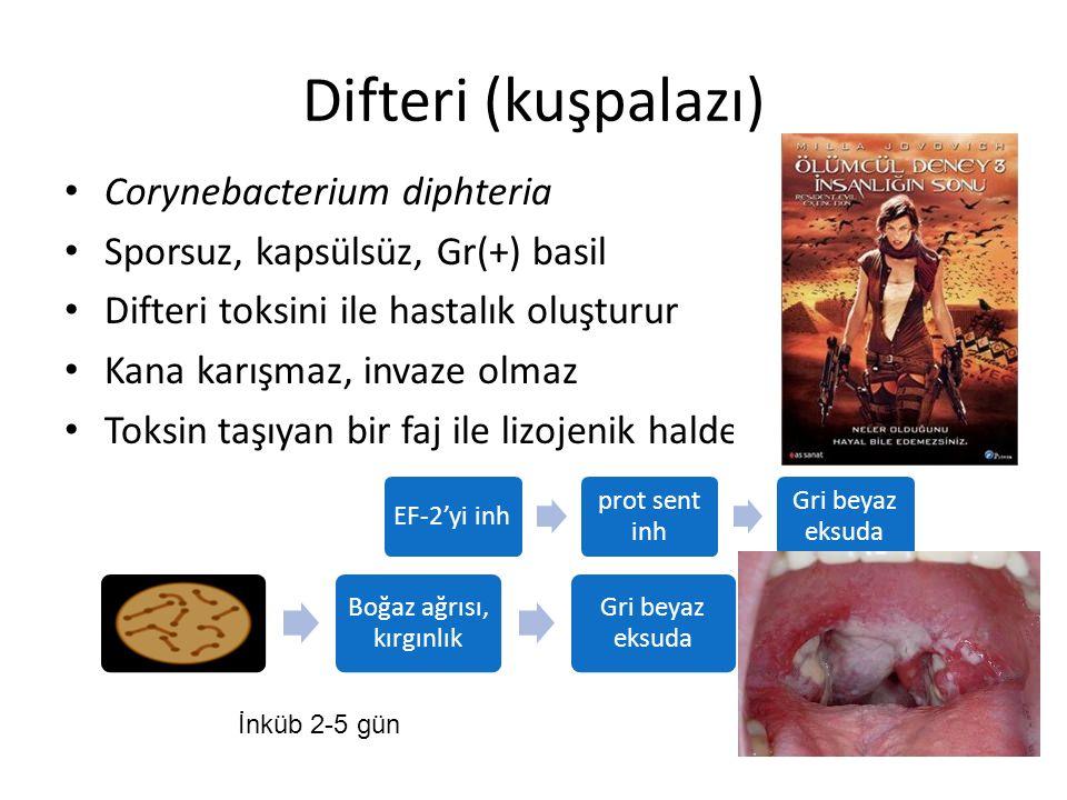 Difteri (kuşpalazı) Corynebacterium diphteria Sporsuz, kapsülsüz, Gr(+) basil Difteri toksini ile hastalık oluşturur Kana karışmaz, invaze olmaz Toksi