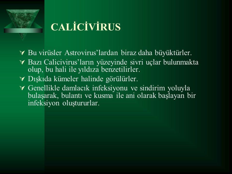 CALİCİVİRUS  Bu virüsler Astrovirus'lardan biraz daha büyüktürler.