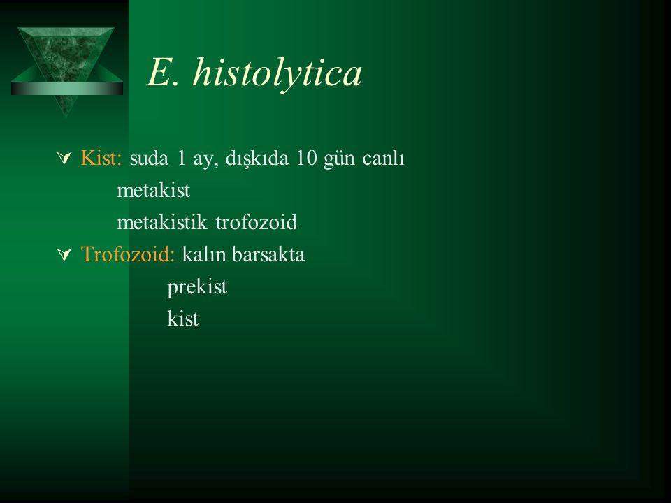 E. histolytica  Kist: suda 1 ay, dışkıda 10 gün canlı metakist metakistik trofozoid  Trofozoid: kalın barsakta prekist kist