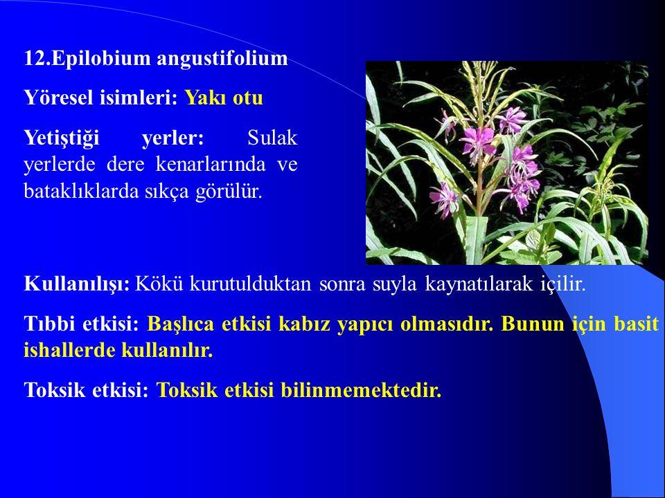 12.Epilobium angustifolium Yöresel isimleri: Yakı otu Yetiştiği yerler: Sulak yerlerde dere kenarlarında ve bataklıklarda sıkça görülür. Kullanılışı: